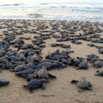 Gahirmatha Beach and the Olive Ridley Turtles