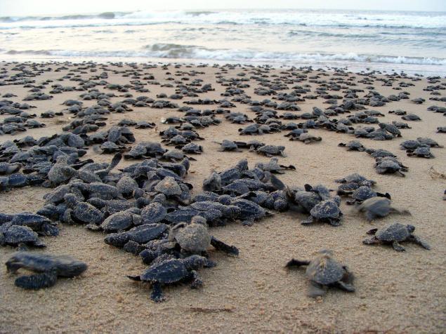 Gahirmatha Beach and the Olive Ridley Turtles