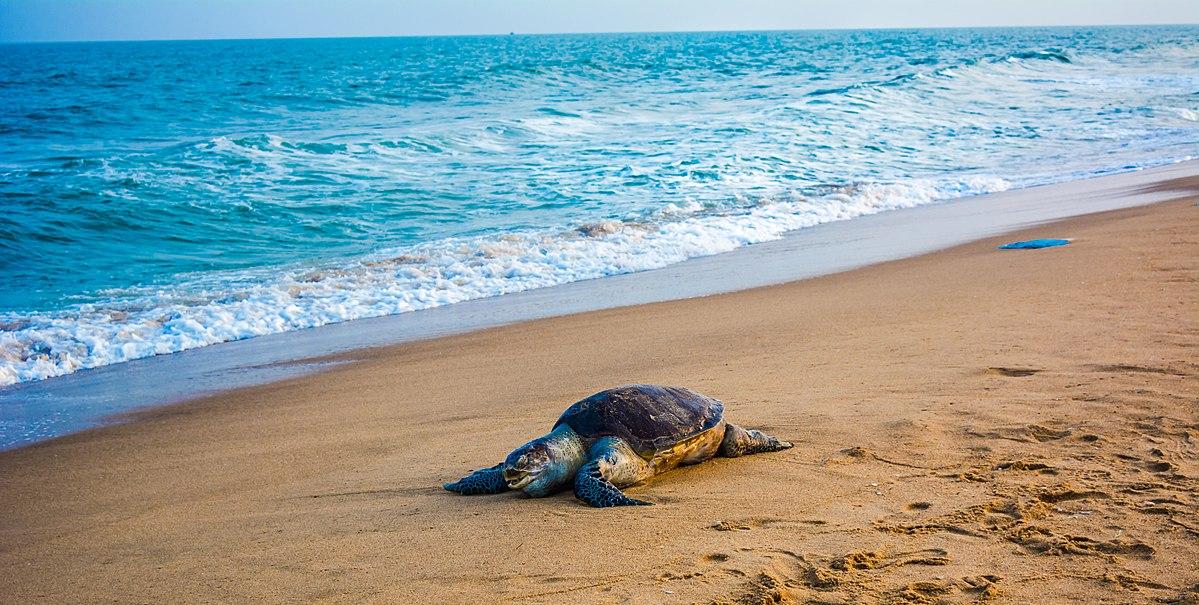 Olivi Ridley Turtle