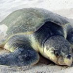Turtle man of Odisha and the Olive Ridley turtles